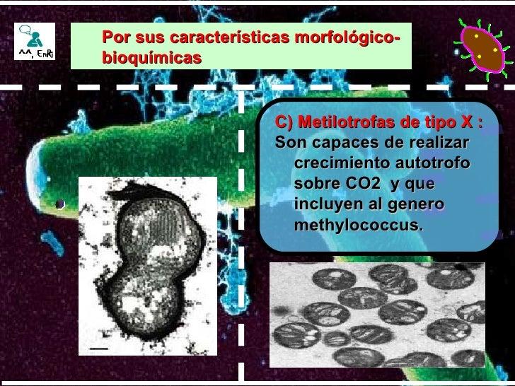 C) Metilotrofas de tipo X : Son capaces de realizar crecimiento autotrofo sobre CO2  y que incluyen al genero methylococcu...