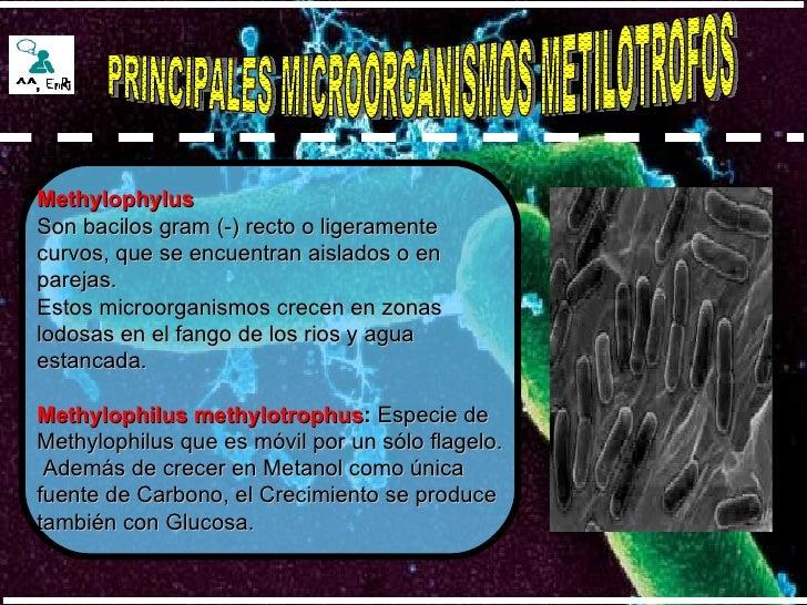 PRINCIPALES MICROORGANISMOS METILOTROFOS Methylophylus Son bacilos gram (-) recto o ligeramente  curvos, que se encuentran...
