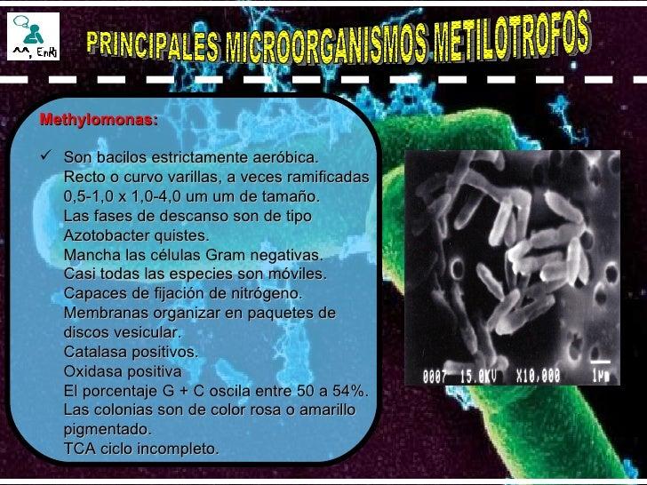 PRINCIPALES MICROORGANISMOS METILOTROFOS <ul><li>Methylomonas: </li></ul><ul><li>Son bacilos estrictamente aeróbica.  Rect...