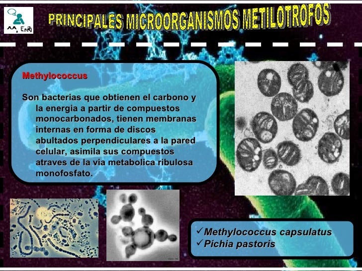 PRINCIPALES MICROORGANISMOS METILOTROFOS Methylococcus Son bacterias que obtienen el carbono y la energia a partir de comp...