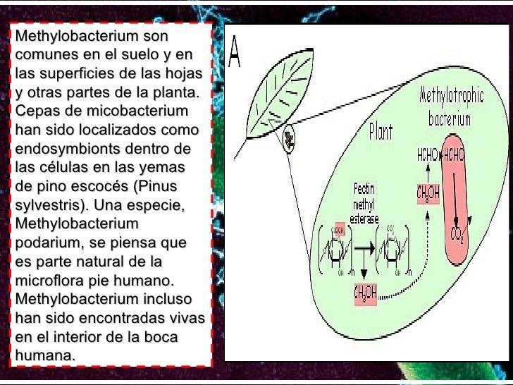 Methylobacterium son comunes en el suelo y en las superficies de las hojas y otras partes de la planta. Cepas de micobacte...