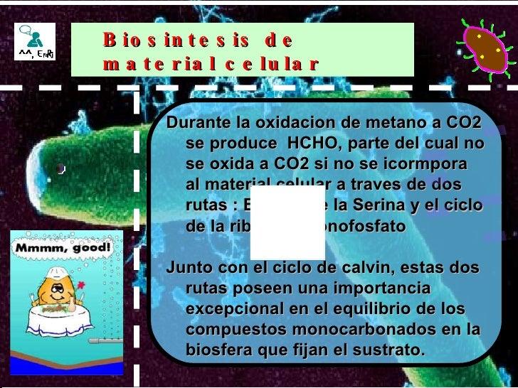 Durante la oxidacion de metano a CO2 se produce  HCHO, parte del cual no se oxida a CO2 si no se icormpora al material cel...