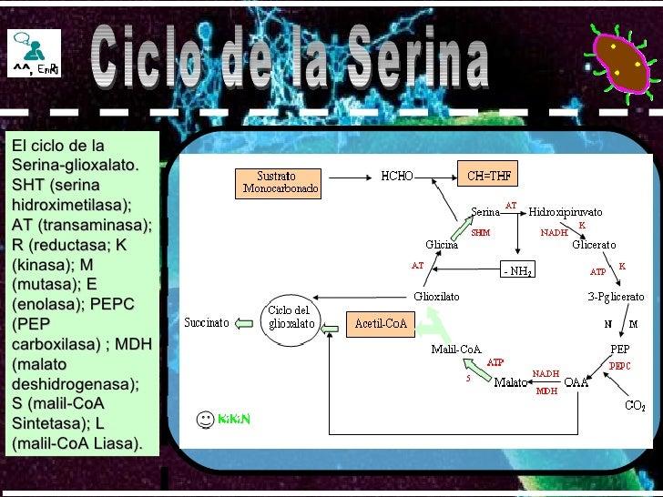 Ciclo de la Serina El ciclo de la Serina-glioxalato. SHT (serina hidroximetilasa); AT (transaminasa); R (reductasa; K (kin...