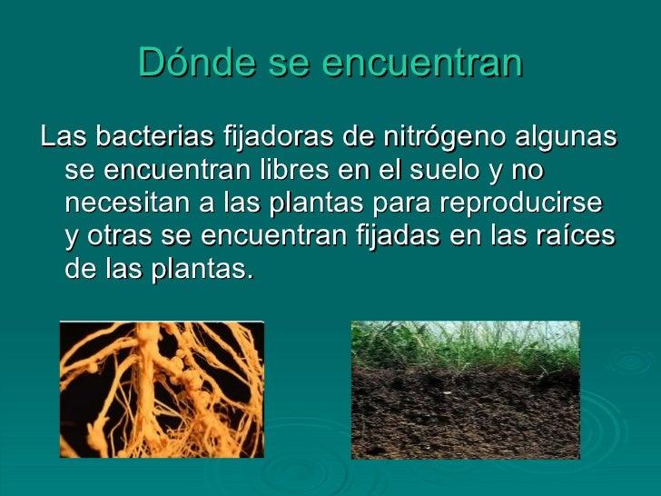 Bacterias fijadoras de nitr geno for De donde se obtiene el marmol
