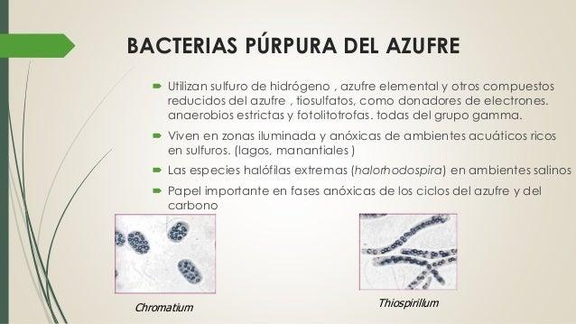 Bacterias fotosinteticas Slide 3