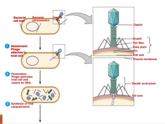 Bacteriophages
