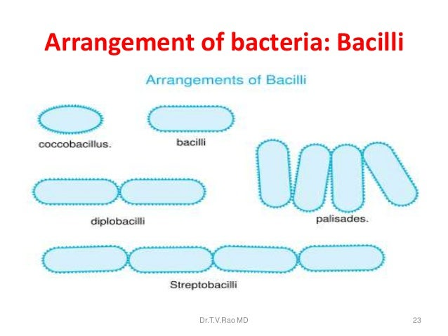 Microorganisms examples types bacteria and viruses diagrams image result for bacilli bacteria types ccuart Gallery