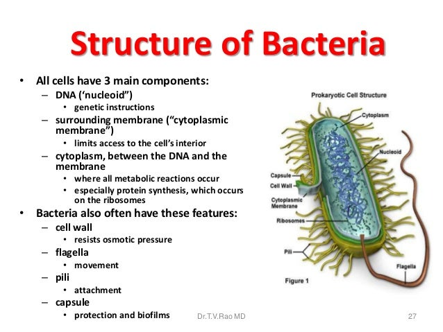 an overview of bacteria and kochs role in medical bacteriology The enterobacteriaceae is a large family of gram-negative bacteria that includes, along with many harmless symbionts, many of the more familiar pathogens, such as salmonella, escherichia coli, yersinia pestis, klebsiella and shigella other disease-causing bacteria in this family include proteus, enterobacter, serratia, and citrobacter.