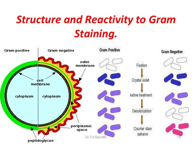 cell structures and the gram stain Structures of gram-negative cell walls our entire perception of gram-positive and gram-negative walls ultimately relies on the response of bacteria to gram staining.