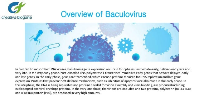 Baculovirus-efficient tool for protein expression