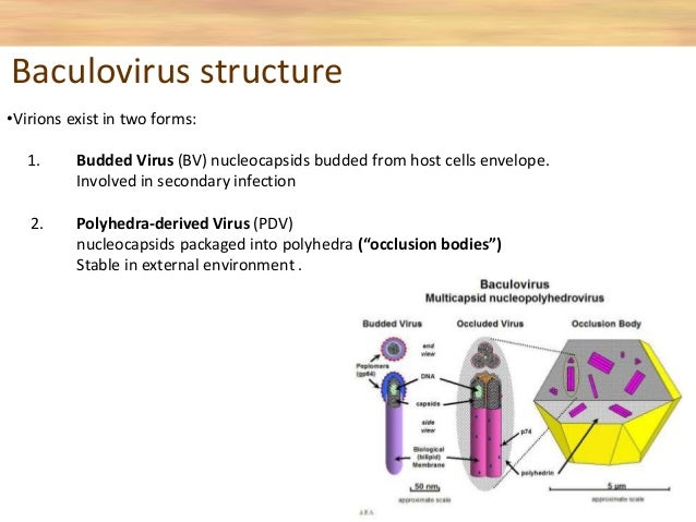 Baculovirus expression vector system