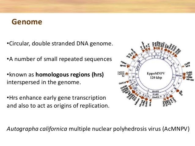 •Circular, double stranded DNA genome. •A number of small repeated sequences •known as homologous regions (hrs) interspers...