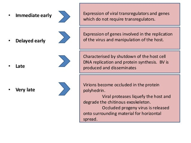 • Immediate early • Delayed early • Late • Very late Expression of viral transregulators and genes which do not require tr...