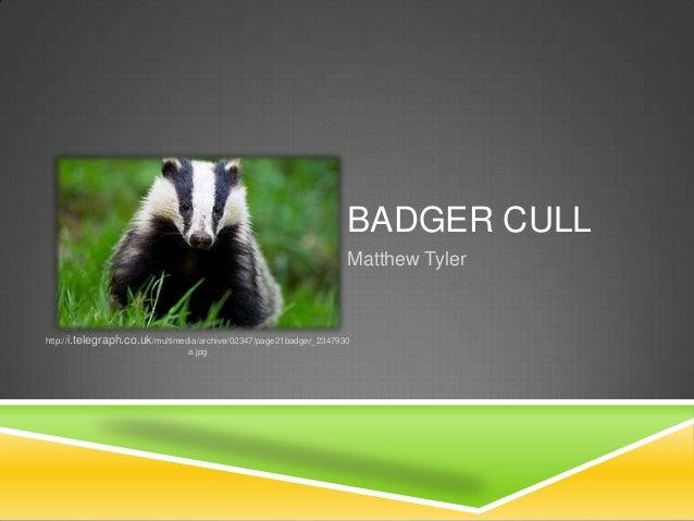 BADGER CULL Matthew Tyler http://i.telegraph.co.uk/multimedia/archive/02347/page21badger_2347930 a.jpg