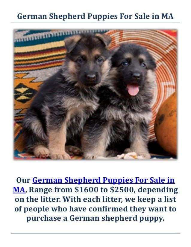 Service Dogs For Sale Massachusetts