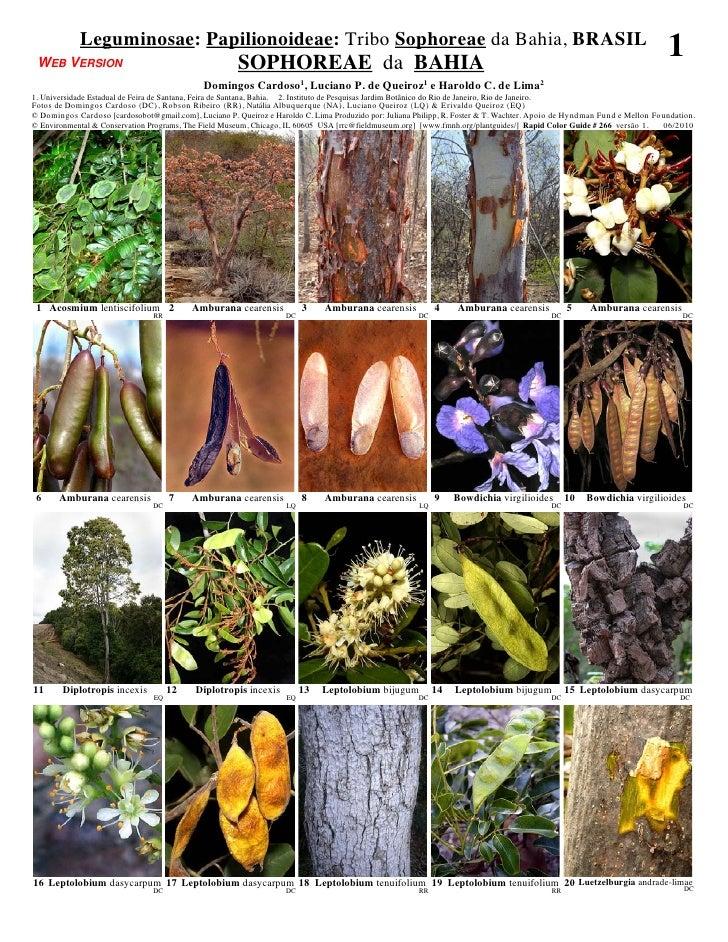 Leguminosae: Papilionoideae: Tribo Sophoreae da Bahia, BRASIL WEB VERSION                                           SOPHOR...