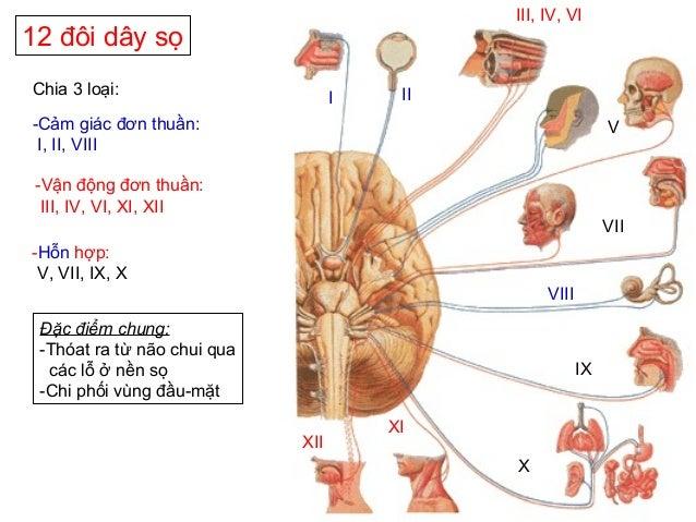 12 đôi dây sọ Chia 3 loại: -Cảm giác đơn thuần: I, II, VIII -Vận động đơn thuần: III, IV, VI, XI, XII -Hỗn hợp: V, VII, IX...