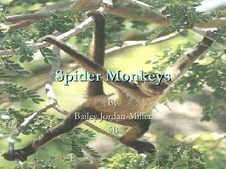 Spider Monkeys By Bailey Jordan-Miller 5B