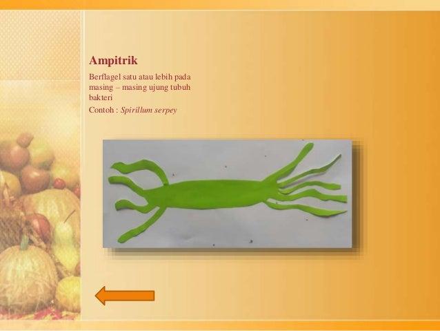 Ampitrik  Berflagel satu atau lebih pada  masing – masing ujung tubuh  bakteri  Contoh : Spirillum serpey