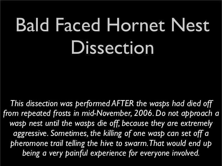 Bald Faced Hornet Nest           Dissection    This dissection was performed AFTER the wasps had died off from repeated fr...