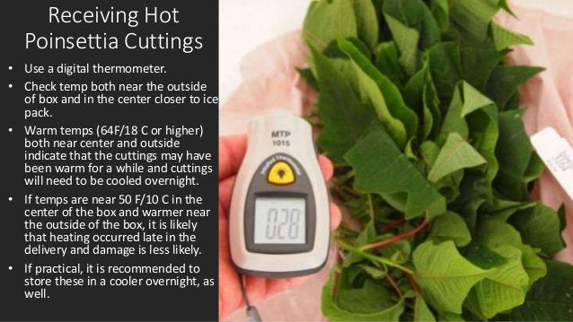 Receiving Hot Poinsettia Cuttings • Use a digital thermometer. • Check temp both near the outside of box and in the center...
