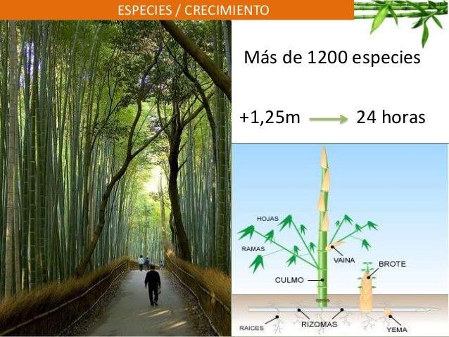 ESPECIES / CRECIMIENTO Más de 1200 especies +1,25m 24 horas