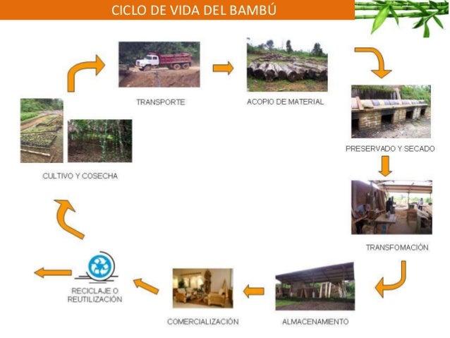 CICLO DE VIDA DEL BAMBÚ