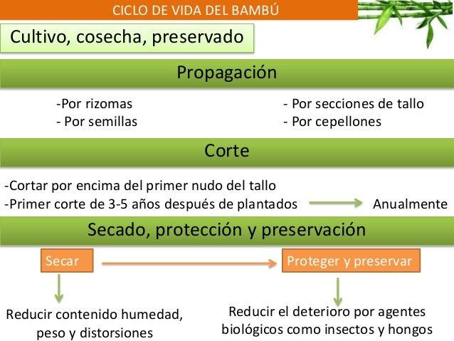 CICLO DE VIDA DEL BAMBÚ Cultivo, cosecha, preservado Propagación Corte Secado, protección y preservación -Por rizomas - Po...