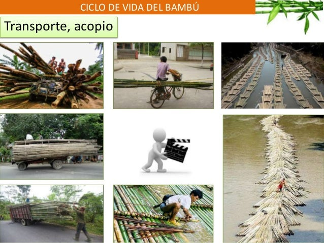 CICLO DE VIDA DEL BAMBÚ Transporte, acopio