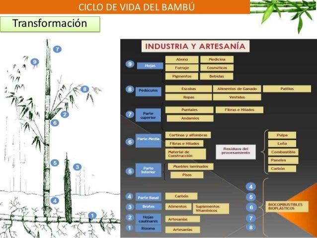 CICLO DE VIDA DEL BAMBÚ Transformación