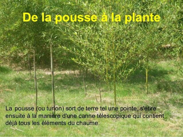 Partie aérienne : le chaume Tous les bambous ont a la fois des tiges aériennes, que l'on appelle chaumes, et des tiges ou ...