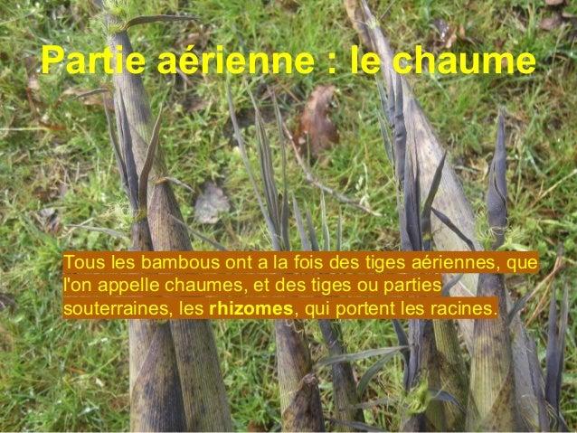 Les graines Ces chaumes sortent de terre protégés par des gaines qui recouvrent la totalité de leur surface et qui tombent...