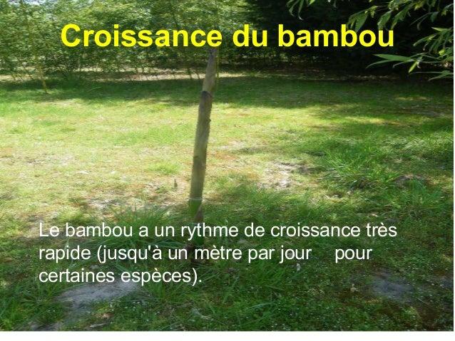 Une pousse de bambou