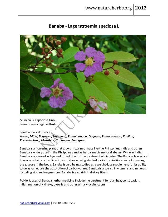 www.natureherbs.org 2012                      Banaba - Lagerstroemia speciosa LMunchausia speciosa Linn.Lagestroemia regin...
