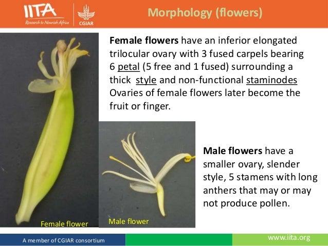 Banana Plant Flower Diagram Block And Schematic Diagrams