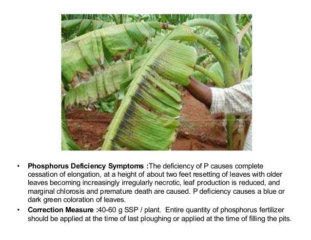 Banana plant deficiency symptoms and corrective measures