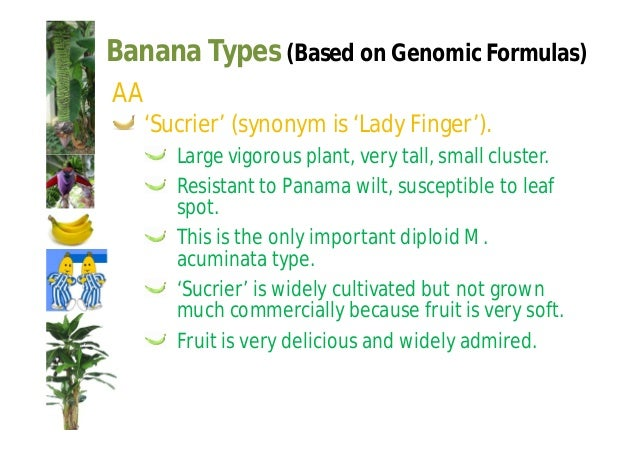 Banana Types (Based on Genomic Formulas)  'Dwarf Cavandish' ('Chinese' banana).  Immune to Panama wilt but susceptible to ...