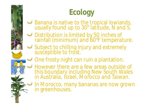 Ecology  Thus areas less than 60 inches of rain  require supplementary irrigation.  In addition heavy winds are very  dest...