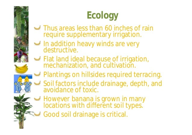 Ecology  Spacing  A wide range of spacing is found  throughout the world:  4.7 × 4.7 ft = 2000 plants/acre;  17.5 × 17.5 f...