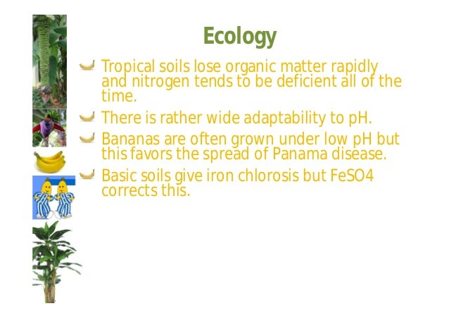 Ecology  Factors affecting spacing:  Type of clone, ('Dwarf Cavandish' is planted closer than 'Gros  Michel')  Soil fertil...
