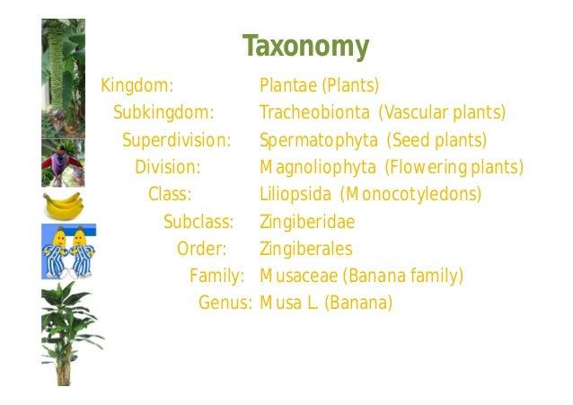 Taxonomy  Species  Musa acuminata Colla (edible banana)  Musa balbisiana Colla (banana)  Musa nana sensu Parham (non Lour)...
