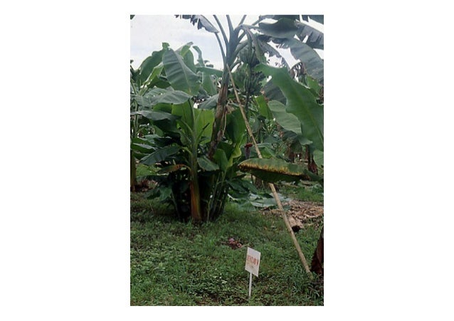 Cultural Practices  Deep planting gives sturdier tree.  Planting time is best carried out before wet  season to give maxim...