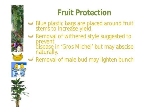 Fruit Ripening  Bananas are harvested in the green stage  and ripening is controlled by temperature  and ethylene.  Becaus...