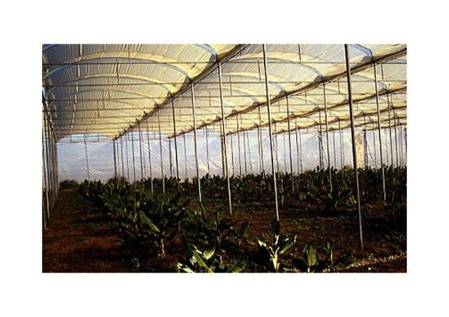 Banana as an intercrop