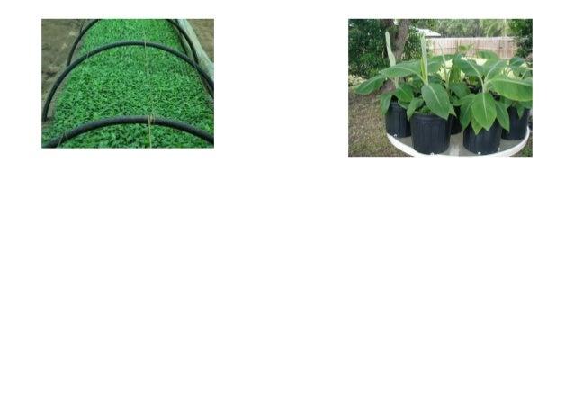 """Musa balbisiana Musa acuminata Musa acuminata """" siam ruby""""  Musa basjoo"""