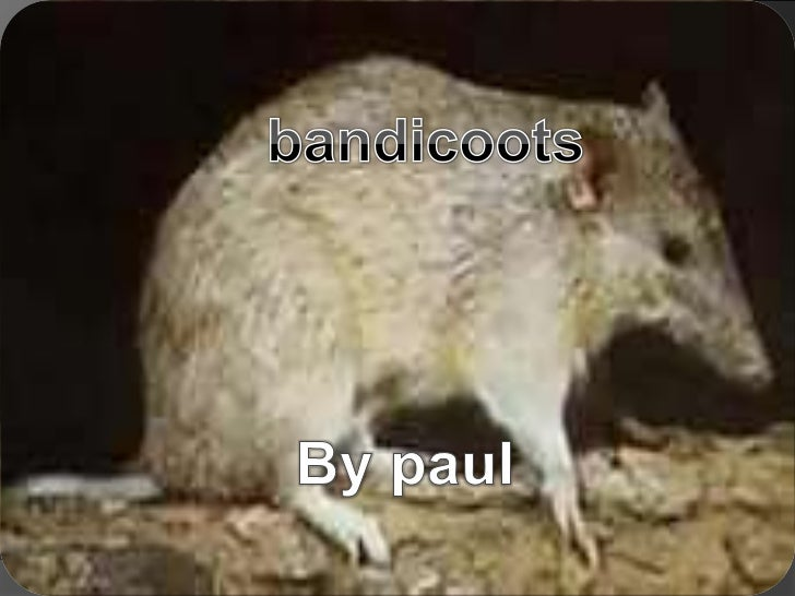 bandicoots<br />By paul<br />