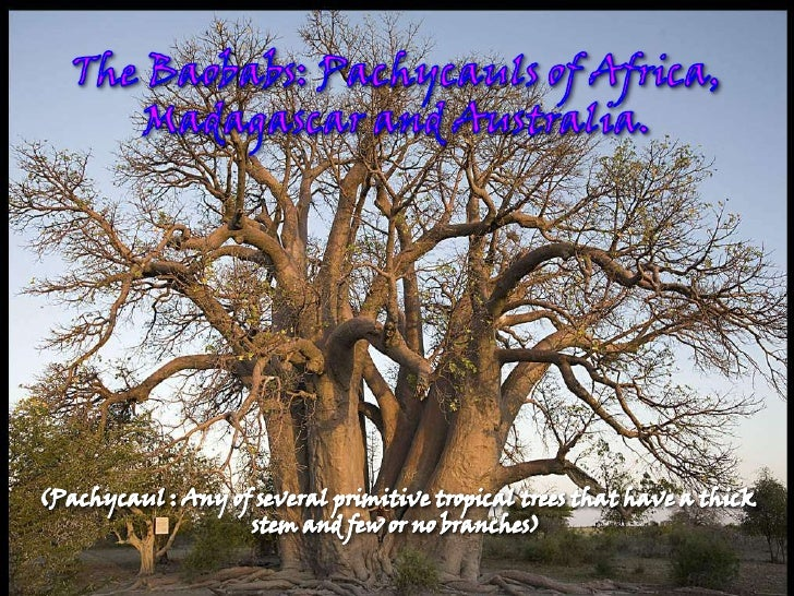 The Baobabs: Pachycauls of Africa, Madagascar and Australia.<br />(Pachycaul : Any of several primitive tropicaltreestha...