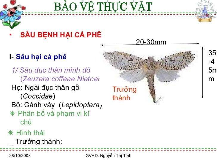 28/10/2008 GVHD: Nguyễn Thị Tình <ul><li>SÂU BỆNH HẠI CÀ PHÊ   </li></ul><ul><li>I -  Sâu hại cà phê   </li></ul><ul><li>1...
