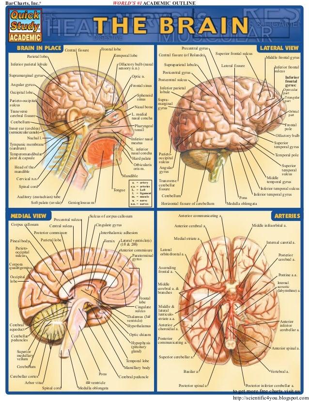 Bar charts quickstudy brain