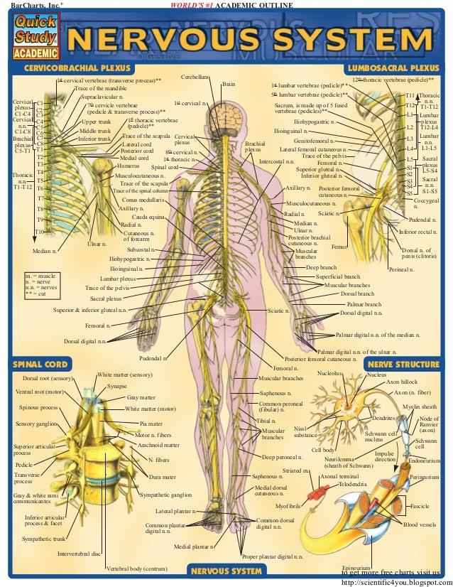 Bar Charts Quickstudy Nervous System